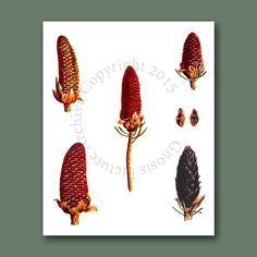 Vintage Botanical Art Pine Cone Decor by GnosisPictureArchive