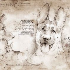 """German Shepherd Study (English)""  A full size Da Vinci style drawing"
