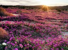 15 Beautiful Pictures of Spring Flowers Around the World - March 2, 2017: ABRONIA AND PRIMROSE IN ANZA-BORREGO DESERT STATE PARK, CALIFORNIA: Anza-Borrego Desert State Park is expecting a similar floral carpet as this one, photographed a few years ago in the park.
