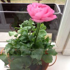 Ranunkel Gardening, Plants, Flowers, Garten, Flora, Plant, Lawn And Garden, Planting, Horticulture