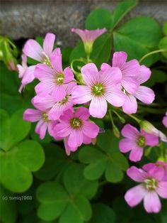 ムラサキカタバミ / Purple wood sorrel