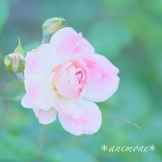 #薔薇#バラ#rose#flower