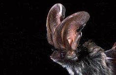 Allen's big-eared bat is found in extreme southern Nevada, the southern third of Utah, throughout Arizona, in the southwestern quarter of New Mexico, and south through the interior of Mexico. It is most often encountered in ponderosa pine, pinyon-juniper, pine-oak woodland, and riparian habitats above 3,000 feet. Maternity colonies of 30 to 150 individuals have been found in mine shafts, boulder piles, lava beds, and beneath the loose bark of large ponderosa pine snags.