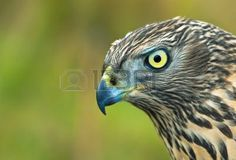 Birds Of Europe - Northern G Mural - RF Images| Murals Your Way ***don't put in bird room. would scare the crap out of of the birds! Northern Goshawk, Murals Your Way, Owl, Europe, Birds, Animals, Image, Animales, Animaux