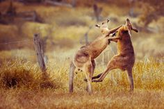 Aussie style - The Knockout Blow by WantedImages