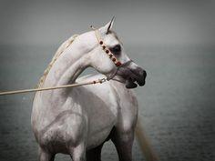 Rashdan Al Rashediah (Nooredine Ezzain x NK Zaherah by Salaa El Dine) 2008 grey stallion bred by al Rashediah Stud - Strain - Abayyan Om Jurays