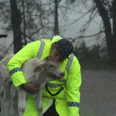 A Queensland police officer rescuing a calf from the floods