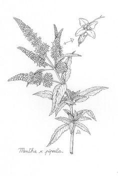 Peppermint Botanical Line Drawing, Botanical Drawings, Herbs Illustration, Botanical Illustration, Plant Tattoo, Nature Tattoos, Flower Designs, Peppermint, Tatuajes