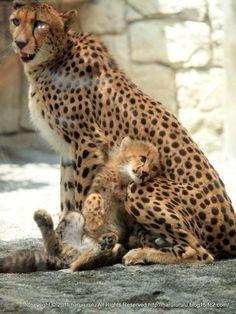 Lean on Me ∞Cheetah mom and cub