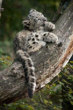 Leopards Tag wallpapers Page Animals Leopards Big Cats Kittens Cutest, Cats And Kittens, Cute Cats, Funny Cats, Beautiful Cats, Animals Beautiful, Cute Baby Animals, Animals And Pets, Animals Images