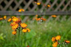 Bloom Day in June|enclos*ure.  Pilosella aurantiaca or Hieracium aurantiacum (orange hawkweed), native to Europe.