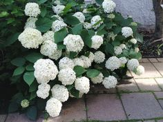 hydrangeas pruning tips tutorial, diy, gardening, landscape, lawn care
