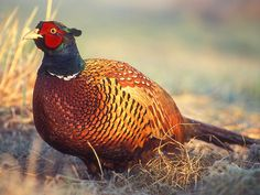 Ring Neck Pheasant -one of three state birds that are non native to the United States