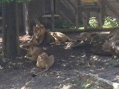 Dierenweetjes: Aziatische Leeuw