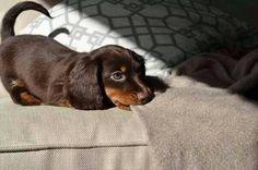 """Dachshund puppy on 'Teckelliefde' via facebook.com """
