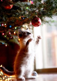 #Cats and kittens with christmas tree http://www.justapoundbooks.com/products-page/hobbies/the-experts-guide-how-to-take-care-of-your-cat/