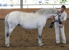 Connemara Pony Glenormiston Amelia Connemara Pony, Blue Moon, Dressage, Ponies, Amelia, Ranch, Irish, Sport, Animals