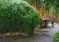 Fargesia sp. Jiuzhaigou 1 (syn: Fargesia sp. Jiu) Veel mensen willen een bamboe die 2 tot 3 meter hoog wordt, fijn blad heeft en compact en opgaand groeit. Daarom is Fargesia sp. Jiuzhaigou 1 op plaatsen met minder ruimte de eerste keuze. Deze bamboe kan zich met behulp van snoei en afbakening zelfs op minder dan 1 meter breedte handhaven maar een ruime meter is beter. Op humusrijke, niet uitdrogende grond verdraagt Fargesia sp. Jiuzhaigou 1 de zon goed. Bij deze kloon kunnen de halmen in de…