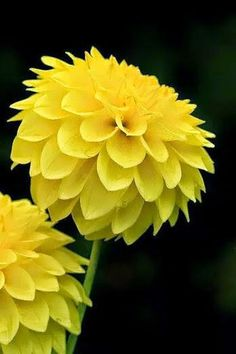 ~~Enticing Flower Portrait in Yellow ~~Dahlia Most Beautiful Flowers, Pretty Flowers, Yellow Flowers, Dahlia Flowers, Cactus Flower, Exotic Flowers, Beautiful Things, Mellow Yellow, Color Yellow