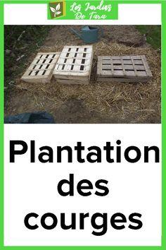 Plantation des courges