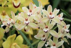 orchideák gondozása Unusual Flowers, Beautiful Flowers, My Favorite Image, My Favorite Things, All About Plants, Cymbidium Orchids, Orchid Care, Fragrance, Yellow