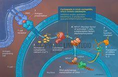 Cyclosporine mechanism of action illustration