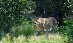 Opening nieuw leeuwenreservaat Diergaarde Blijdorp - Opening new lion en...