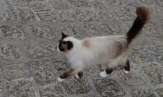 La promenade du chat à Morlaix, Bretagne, France