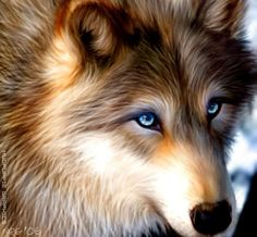Brown Wolf with Blue Eyes | Wolf.jpg Blue eyed wolf spirit image by juggalettepyra