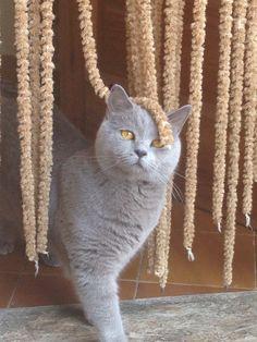 Pallars Sobirà, Catalunya. British shorthair cat