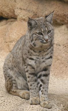 The most common wildcat in North America, the bobcat is named for its short, bobbed tail. They are medium-sized cats and are slightly smaller but similar in ...