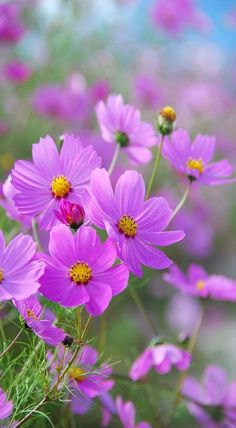 Cosmos - beauty.