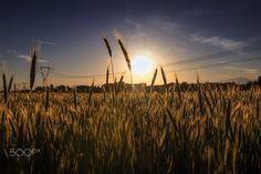 __Wheat and Electricity- Campo di Grano__ - Field of wheat at the sunset in the Italian countryside. Novara.