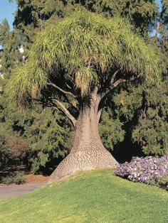 The Ponytail Palm Tree Can Live For Decades If You Give It Proper Care These Tips Palms Will Show How To Grow Them Right