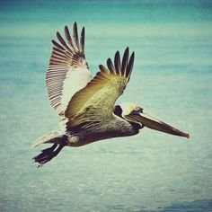 Pelican photo - 8x8 pelican photo with sparkling turquoise water BOGO SALE