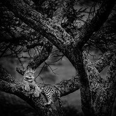 Participa hasta 31 de agosto en el XI Concurso de Fotografía El Foton elfoton.com #elfoton15 categoría #CreatividadFotografica Usuario: mpereda (Kenia) - Desde la Atalaya - Parque Nacional Masai Mara el 13/10/2012#photos #travel #viajes #igers #500px #Picoftheday #Fotos #mytravelgram #tourism #photooftheday #fotodeldia #instatravel #contest #concurso #instapic #instaphotomatix #wanderlust #Islandia #Road #carretera #Hverir #Iceland #Kenia #Kenya #ParqueNacional #MasaiMara #Leopardo #leopard Tanzania, Fauna, Giraffe, Instagram, Pageants, The World, Pageant Photography, National Parks, Animales