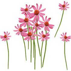 pink daisies ❤ liked on Polyvore featuring flowers, flower stem, backgrounds and filler