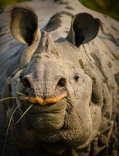 Pachidermi/Rinoceronte Indiano(Rhinoceros Unicornis): vive in Nepal ed in Assam, in India. Animals Of The World, Animals And Pets, Cute Animals, Sumatran Rhino, Elephas Maximus, Save The Rhino, Wild Creatures, Beautiful Creatures, New Zealand