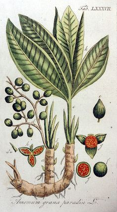 dreamssoreal:    Amomum grana-paradisi L. by Adolphus Ypey
