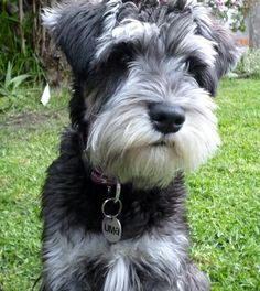 http://nascentarray.com/wp-content/uploads/2013/09/Miniature-Schnauzer-Featured.jpg