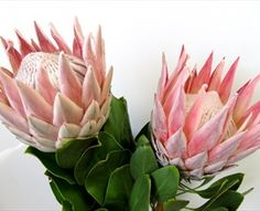 King - Protea - Proteas and Leucadendrons - must be grown in a greenhouse in these cold northern zones