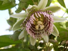 Pendant white and purple flowers on a robust vine. Related to Passiflora laurifolia, P. nigradenia likes warm weather and has excellent fruit. Needs a separate Flora Flowers, Unusual Flowers, Rare Flowers, Amazing Flowers, Purple Flowers, Unusual Plants, Rare Plants, Exotic Plants, Types Of Cherries