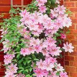 Clematis seeds flower clematis vines bonsai flower seeds perennial flowers climbing clematis plants for home garden Climbing Clematis, Clematis Plants, Clematis Vine, Foliage Plants, Flowers Perennials, Landscaping Supplies, Landscaping Tips, Garden Landscaping, Landscaping Software