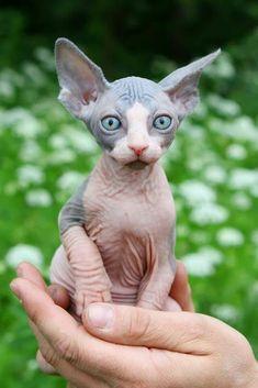 le chat venue d'Ailleur créé par l'humain!