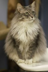 Ernestina is an adoptable Domestic Long Hair - Gray And White Cat in Chicago, IL. When Ernestina arrived to Tree House as a fluffy , Bill Clinton was president, N Sync and Backstreet Boys ruled the Am...