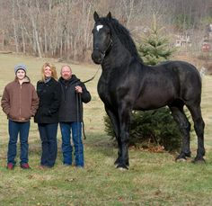 "Black Percheron Stallion. 19 hands high and his nick name is ""Moose""…currently the Pecheron Supreme World Champion"