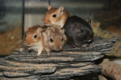 Chinchillas, Hamsters, Rodents, Super Cute Animals, Gerbil, Elmo, Guinea Pigs, Mice, Rats