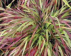 """Rákosovka velká """"Beni Kaze"""" Tenké, zelené listy této okrasné trávy se v pozdním létě zbarvují až růžovo-červené. Na podzim přidává ještě syté odstíny oranžové a žluté. Dorůstá do výšky 45cm, a šířky 90cm. Vyžaduje polostín."""