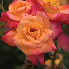 Josephs coat roses.  Start off peach and with a little sunlight, ripen to a beautiful pink. These are gorgeous!
