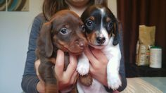 Snickers (chocolate/tan) and Dory (piebald - black/white/tan). Our precious babies; miniature dachshunds.